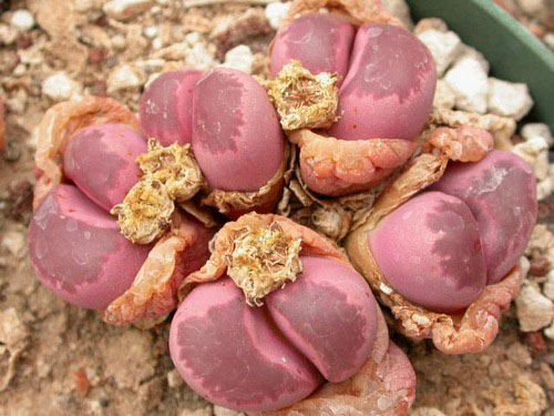 Lithops optica cv Rubra (MG 1685.5 )